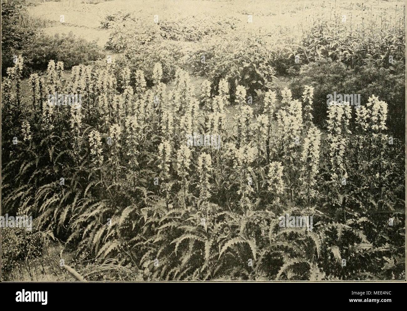 """. Die Gartenwelt . Morina longifolia. In der Staudeügärtnerei von Otto Froebel, Zürich, für die ,,Gartenwelt"""" photogr. aufgenommen. wiederholtes Verpflanzen im August. Das Wiedereinpflan- zen der ausgesetzten Kakteen hat schon im August zu ge- schehen, damit die Pflanzen sich noch gut einwurzeln können. Für hohe Pflanzen habe ich einen Kasten kon- struiert, dessen Seitenteile ebenfalls Stehfenster sind, so dass die Pflanzen von allen Seiten Licht haben. Auch die Topfpflanzen bekommen einen warmen Fuss, wie der Gärt- nerausdruck lautet, d. h. es wird der Kasten warm angelegt und die Töpfe  - Stock Image"""