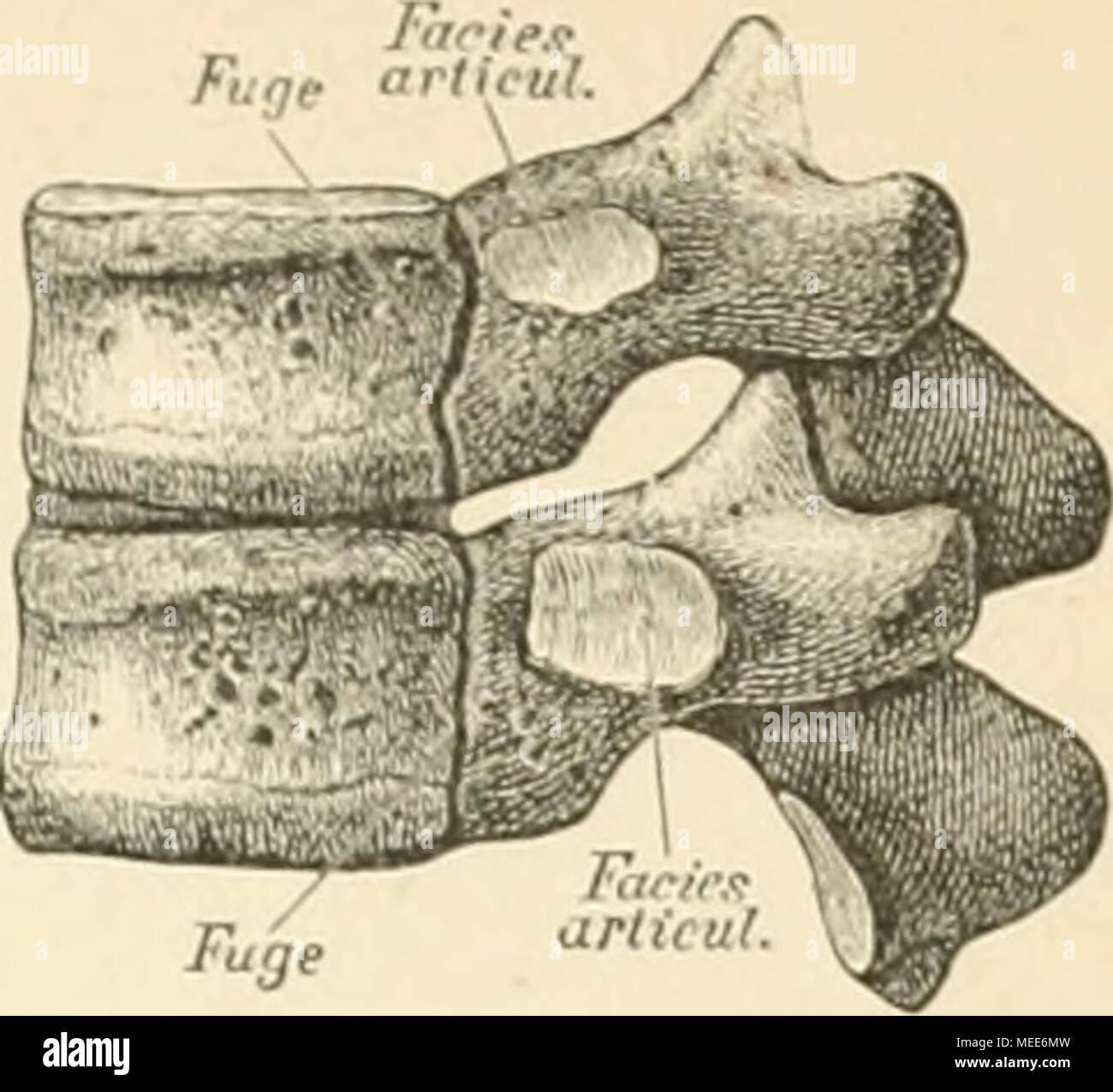Die descriptive und topographische Anatomie des Menschen . 64 ...