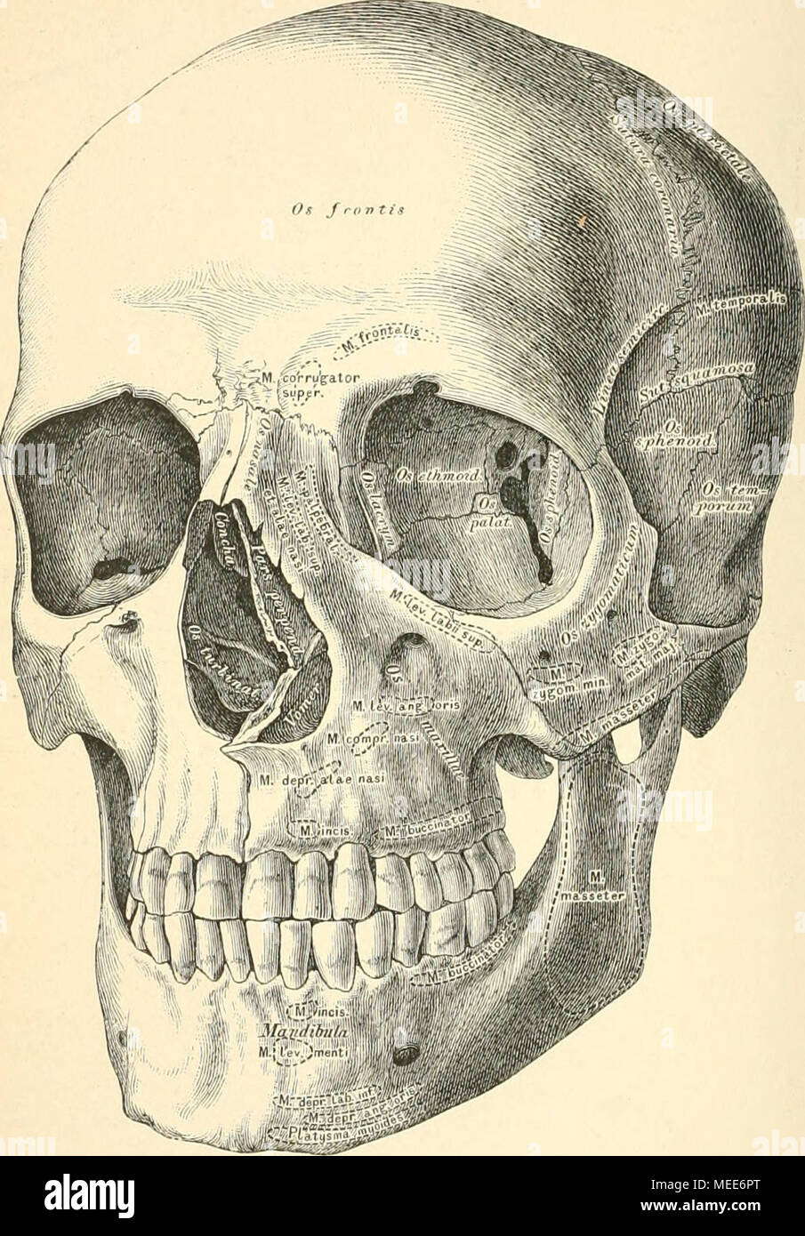 Schön Kopf Anatomie Fotos - Anatomie Ideen - finotti.info