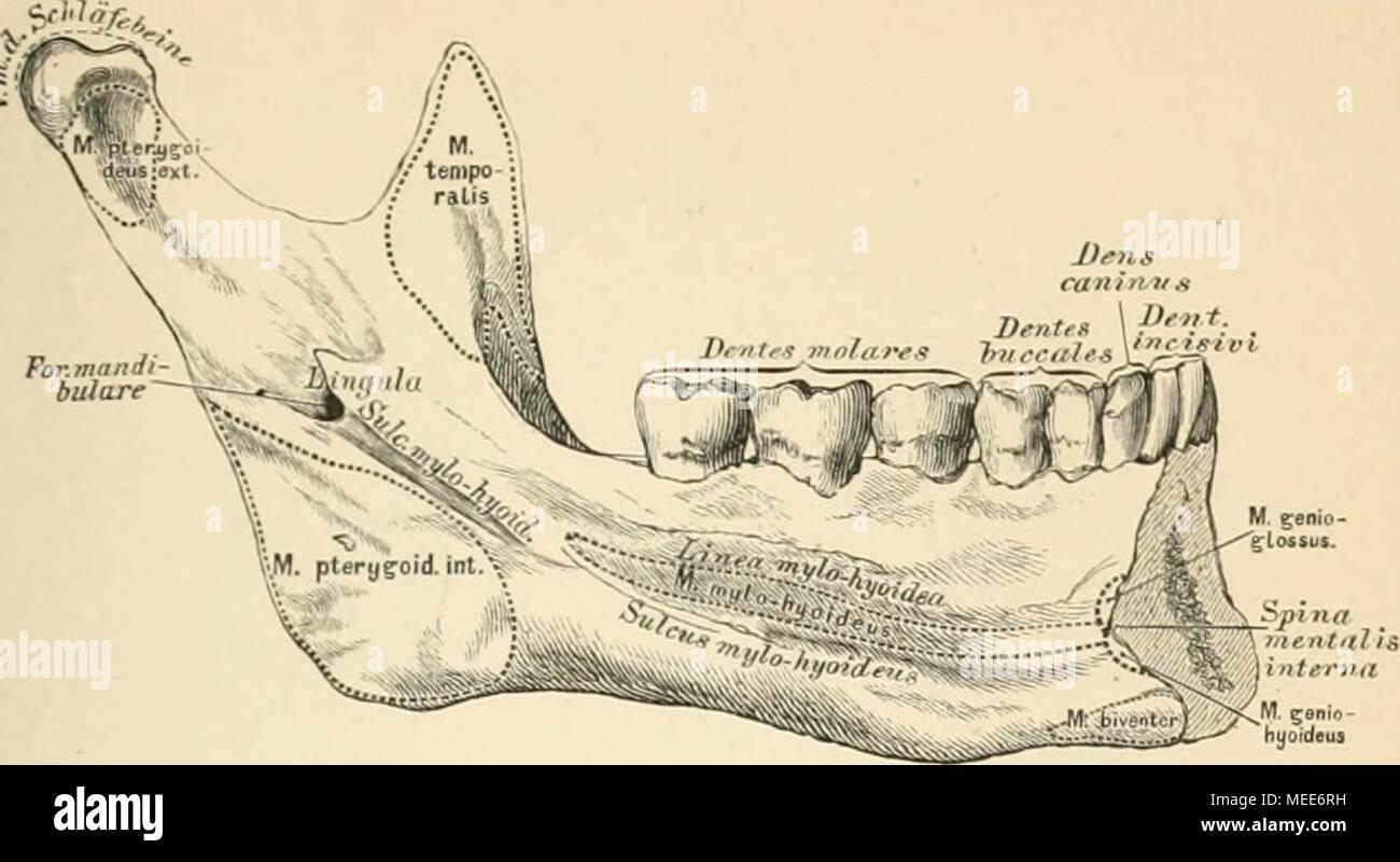 Die descriptive und topographische Anatomie des Menschen . 49 ...
