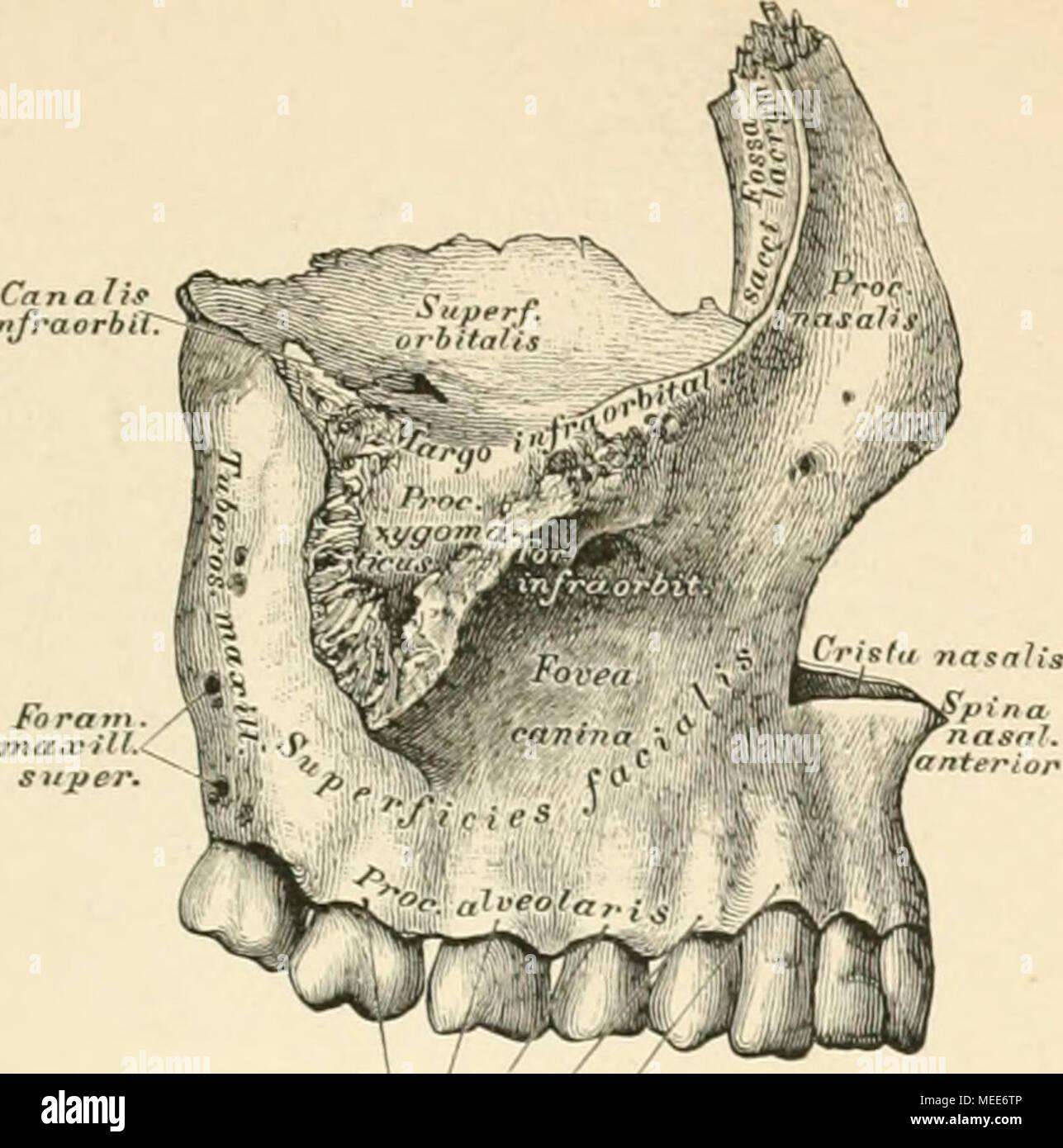 Die descriptive und topographische Anatomie des Menschen . Juga ...