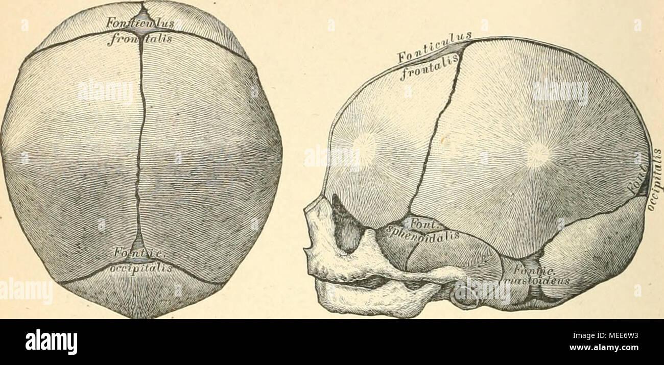 Die descriptive und topographische Anatomie des Menschen . 2G ...