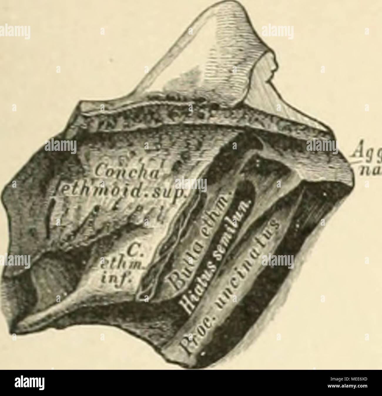 Die descriptive und topographische Anatomie des Menschen . 17. Bulla ...