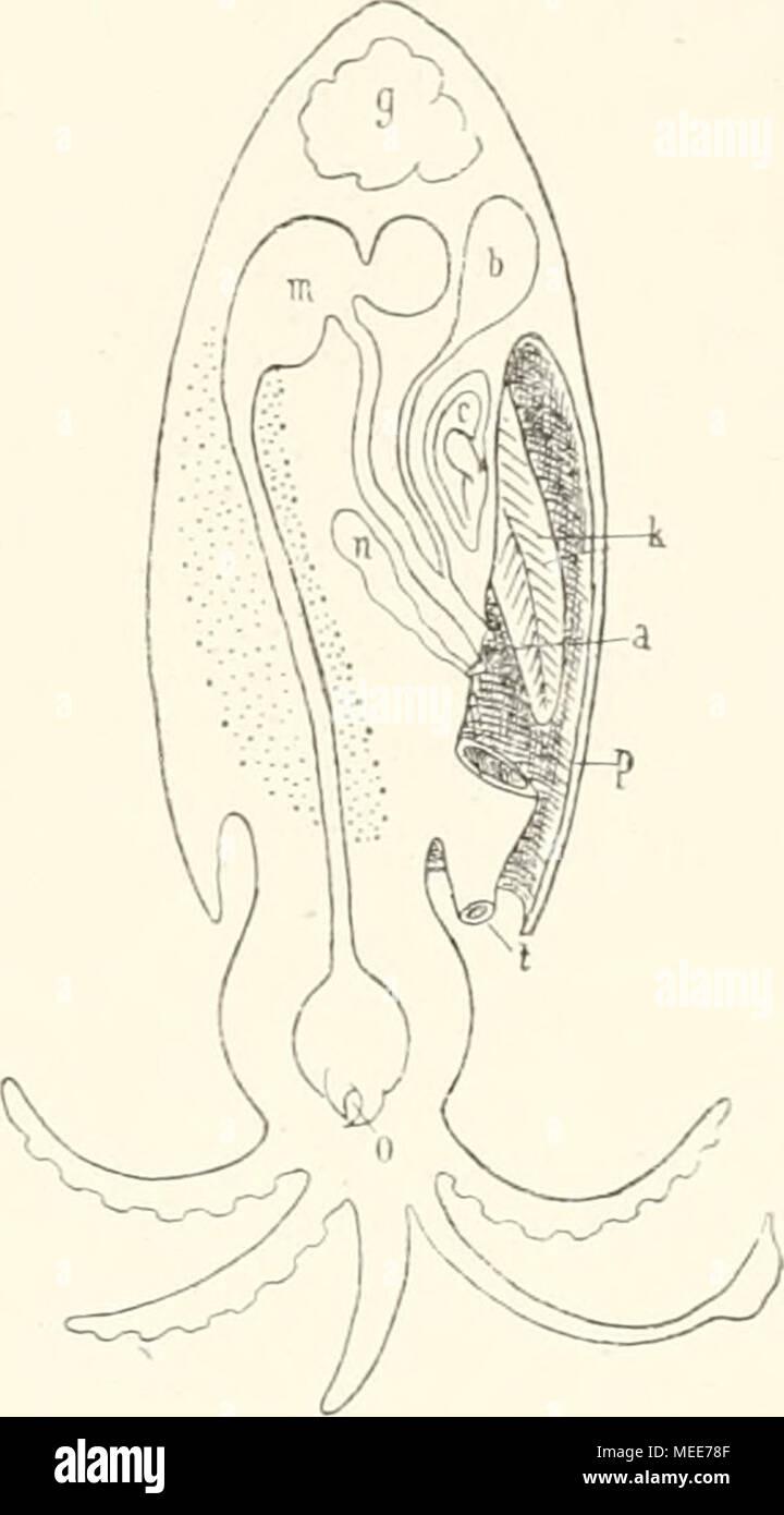 Großartig Makroskopische Anatomie Der Niere Zeitgenössisch ...