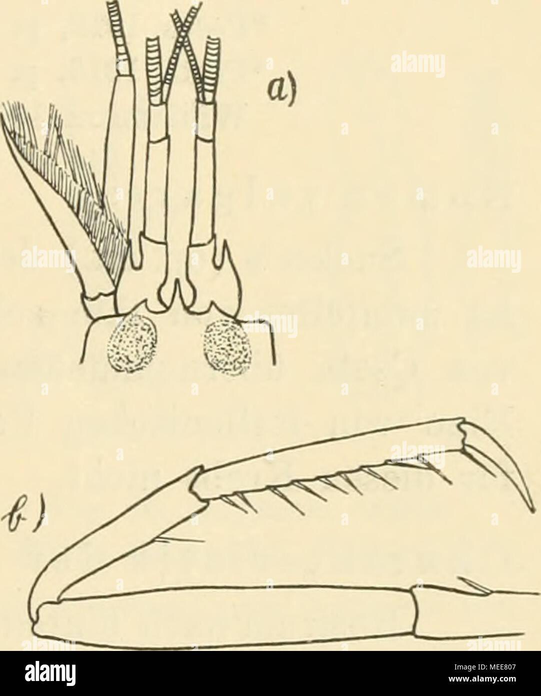 . Die Decapodenfauna der Adria : Versuch einer Monographie . Material über diesen Punkt nicht ge- meldet. Laichzeit für die Adria im Färbung des lebenden Tieres korallenrot. Juni nachgewiesen. Fig. 29. Alpheus megacheles (Hailstoiie). [Original.] a) Stirnrand und Antennen von oben, b) 3. Pereiopode. (Beide Figuren vergrößert.) Fundorte: Cherso, Curzola, Lesina, Lissa, Lussin, bei Pelagosa, Por- tore, Quarnero, Triest. Geographische Verbreitung: Atlantischer Ozean (England) und Mittelmeer (auch Aegaeisches Meer). 21. Alpheus ruber H. Milue-Edwards (Fig. 30). H. Milne-Edwards 1837, p. 351 [Non C - Stock Image