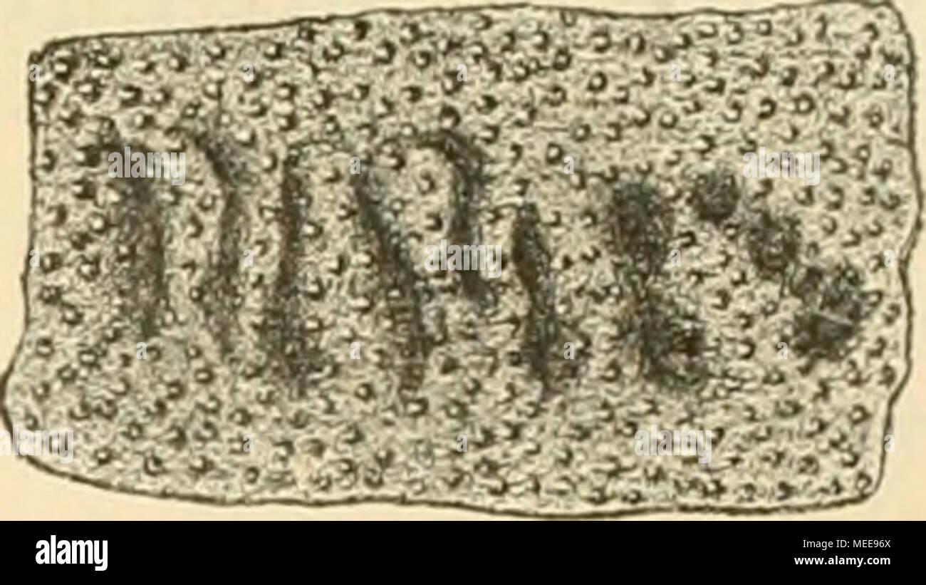 . Die crustaceen der b©hmischen kreideformation . Figur 7(. Fragment der Schale von Lupeites granulatus. 6mal vergriJssert. Zeigt die Furchen- reihe und die Granulation der Schale. (Cancer?) modestiis. Fr. Taf. 10. Fig. 12. In demselben Gesteine, in welchem bei Kamajk die Scheeren von Necrocarcinus vorkommen, fanden sich auch zwei Krabben-Schilder, die aber unmöglich dieser Gattung angehören können. Dieselben sind quer oval, fast doppelt so breit als lang und sind gleichmässig mit runden, ziemlich egalen Tuberkeln besetzt. Von den Rändern ist blos ein Theil des rechten Vorderrandes erhalten, d - Stock Image