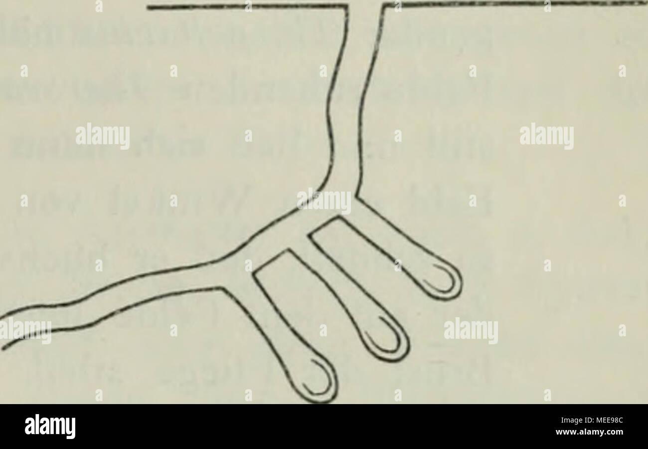 . Die Crabronen der paläarktischen region Monographisch .. . Fig. 64. Nestgang von Cr.peltarius mit drei Zellen. Nach H. Boriies. I9I2. das Q arbeitend vorfand (2. August 1889) betrug die ganze Länge des Nestes nur 6 Zoll und endete 4 Zoll unter der Bodenoberfläche. Der Gang scheint blind zu enden, ohne daß hier eine Zelle angelegt, wenig- stens habe ich nie eine solche am Ende des Ganges finden können. Da- gegen findet man in einiger Entfernung vom Hauptgange Zellen in der Erde. Zu jeder Zelle führt ein kurzer Seitengang, welcher an der Stelle, wo der Haupteingang seine grÖlJte Krümmung hat,  - Stock Image