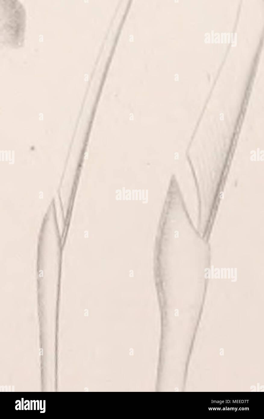 . Die borstenwürmer (Annelida Chaetopoda) nach systematischen und anatomischen untersuchungen dargestellt . £/,/,rj M - Stock Image