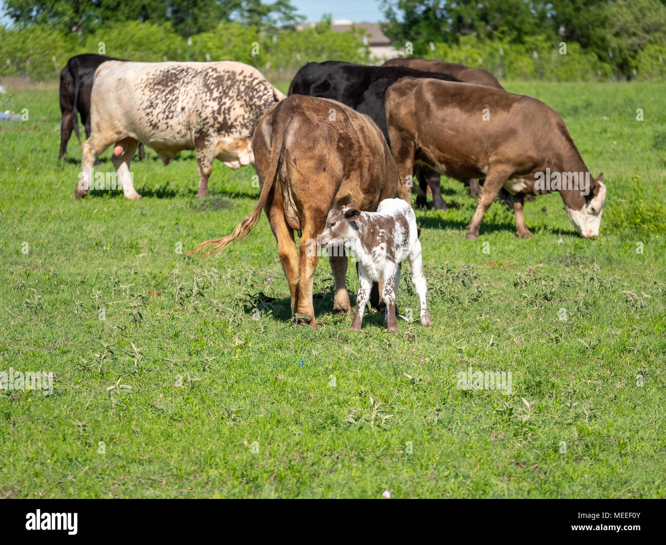 Small Caff Drinking Milk from Mother Cow - Stock Image