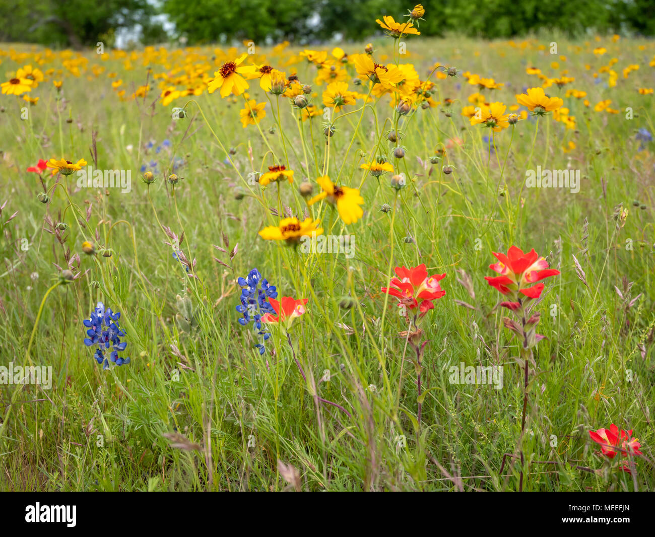 Red Blue And Yellow Wild Flowers On Green Hill In Texas Stock Photo