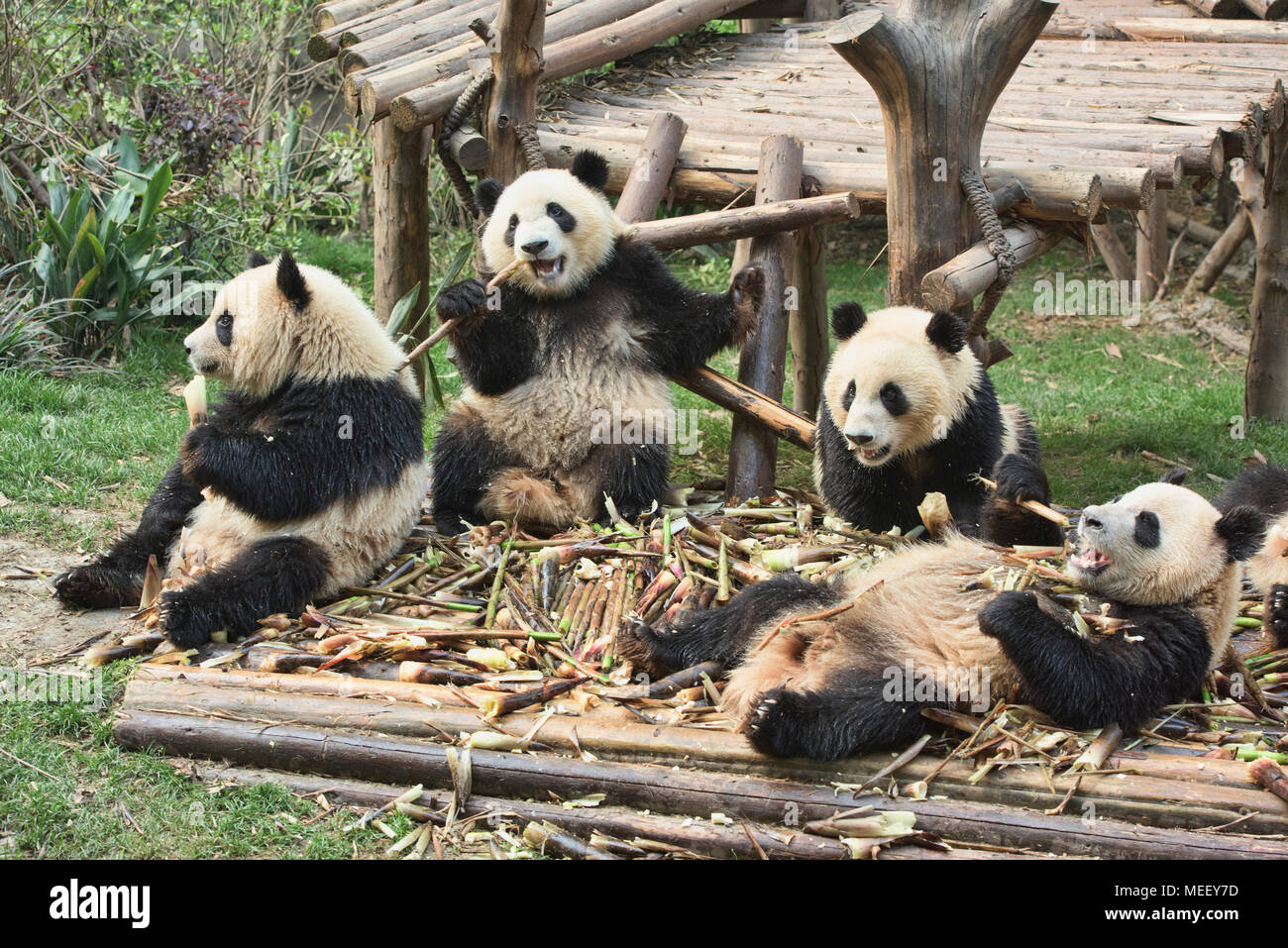 Giant pandas eating bamboo at the Chengdu Research Base of Giant Panda Breeding in Chengdu, Sichuan, China - Stock Image