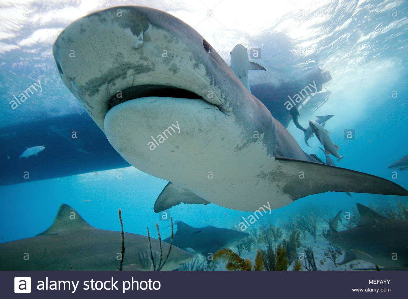 Tiger shark (Galeocerdo cuvier) with live sharksucker or slender sharksucker (Echeneis naucrates), Bahamas - Stock Image