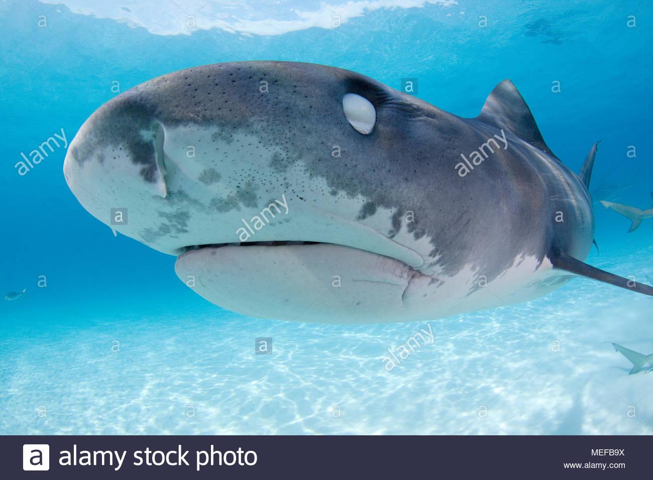Tiger shark (Galeocerdo cuvier) with closed nictitating membrane for protecting eyes, Bahama Banks, Bahamas - Stock Image