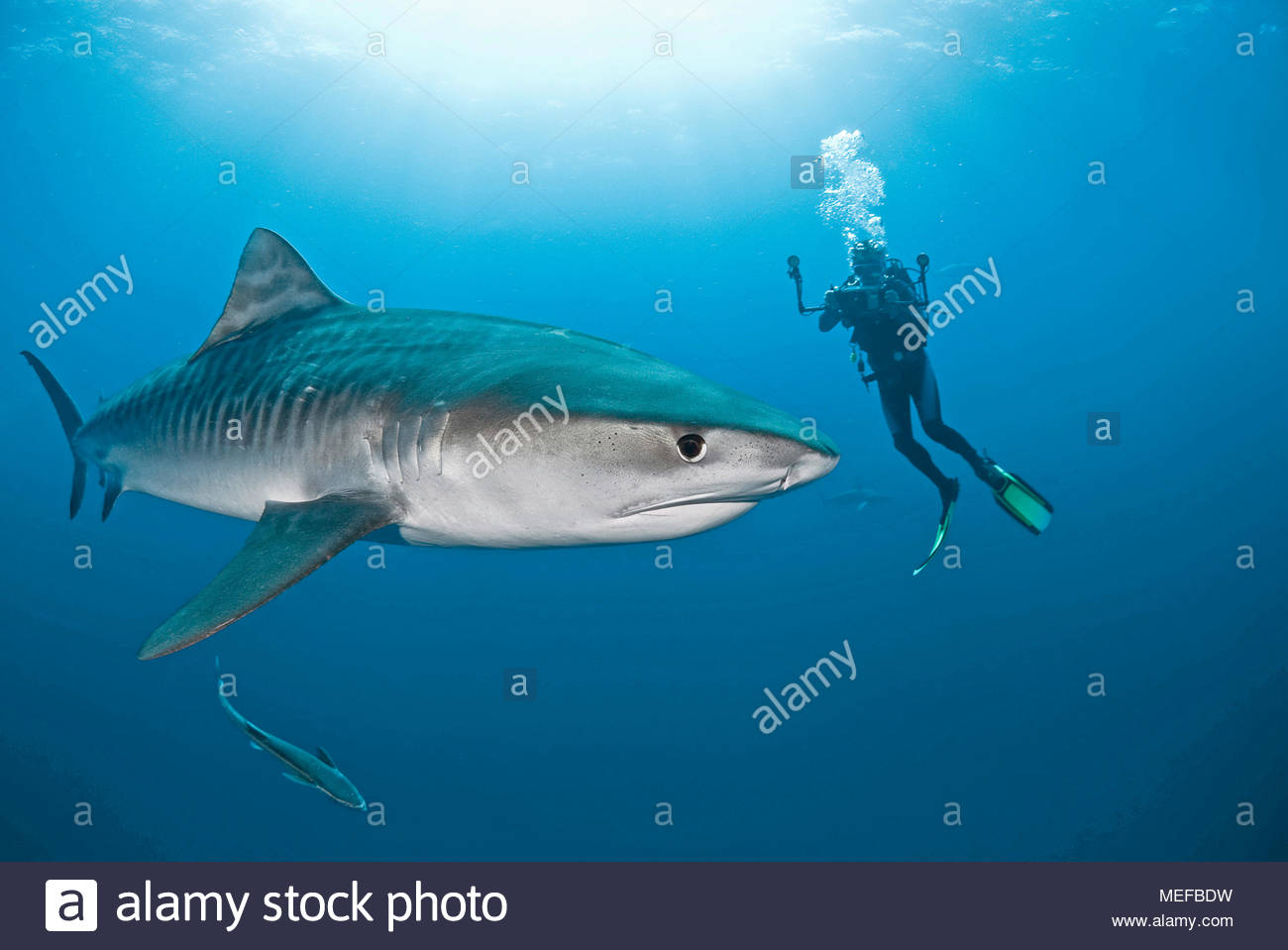 Scuba diver and Tiger shark (Galeocerdo cuvier) with live sharksucker or slender sharksucker (Echeneis naucrates), Bahama Banks, Bahamas - Stock Image