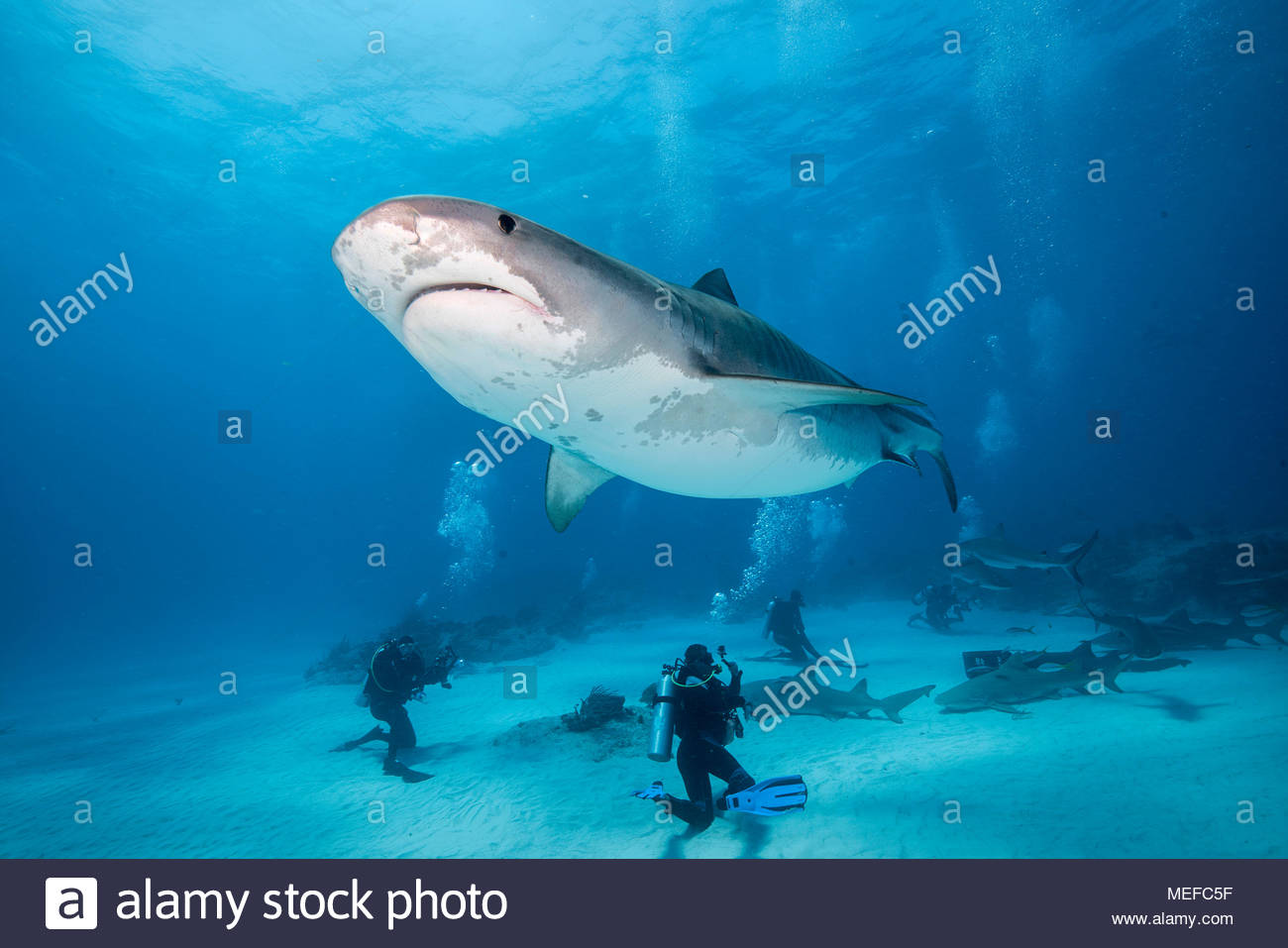 Taucher und Tigerhai (Galeocerdo cuvier), Bahama Banks, Bahamas | Scuba diver and Tiger shark (Galeocerdo cuvier) Bahama Banks, Bahamas Stock Photo