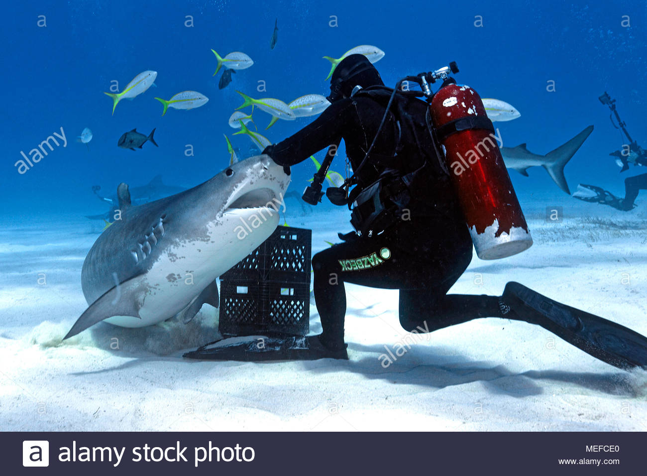 Haifütterung, Taucher füttert Tigerhai (Galeocerdo cuvier), Bahamas | Shark feeding, scuba diver feeds a Tiger shark (Galeocerdo cuvier), Bahamas - Stock Image
