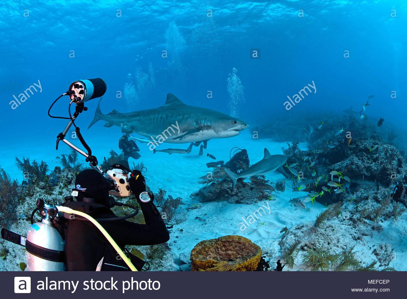 Taucher fotografiert Tigerhai (Galeocerdo cuvier), Bahamas | Scuba diver photographing a Tiger shark (Galeocerdo cuvier), Bahama Banks, Bahamas - Stock Image
