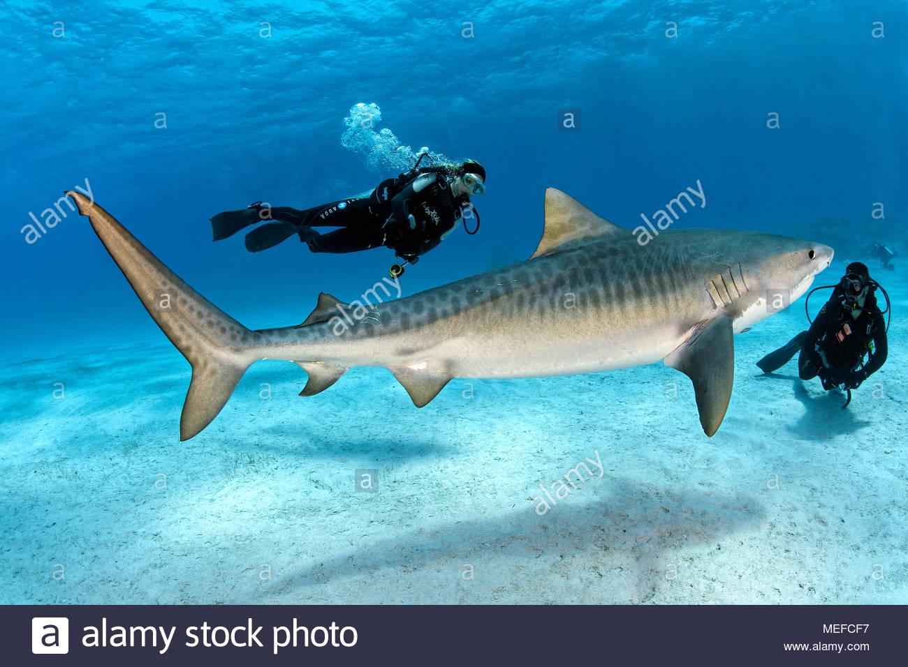Taucher und Tigerhai (Galeocerdo cuvier), Bahamas | Scuba diver and Tiger shark (Galeocerdo cuvier), Bahama Banks, Bahamas - Stock Image