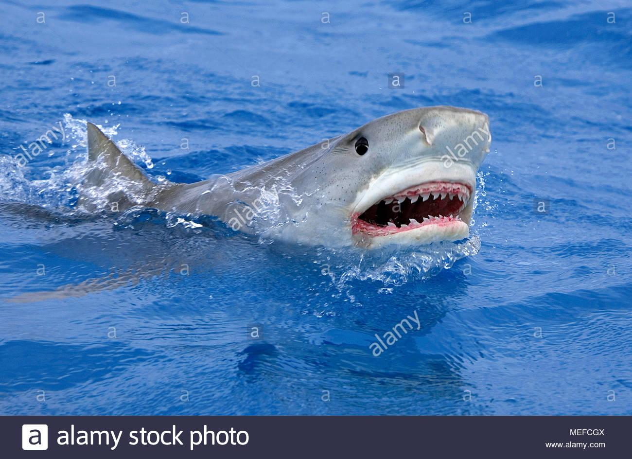 Tigerhai (Galeocerdo cuvier) an der Wasseroberfläche, Bahamas | Tiger shark (Galeocerdo cuvier) at surface, Bahamas - Stock Image