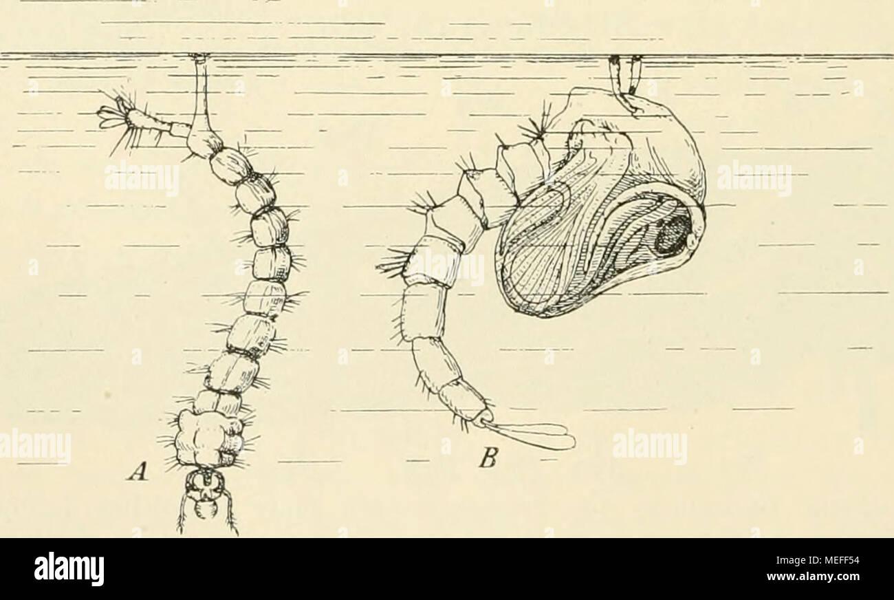 . Die forstinsekten Mitteleuropas. Ein lehr- und handbuch . Flg. Larve und Puppe einer Stechmücke. Beide atmen durch Atemröhren, die bei der Larve vom Hinterende, bei der Puppe vom Thorax abgehen. Stigmen oft mit Borstenkränzen usw. umgeben, die als Schvvebeapparate dienen (Fig. 69). Die rückgebildeten Stigmen lassen sich meist noch deutlich erkennen, be- sonders an dem soliden Zellstrang, der von der Stelle, an der später (in der Imago) das Stigma zum Durchbruch kommt, zu dem Tracheenlängsstrang zieht, und der dem vom Stigma ausgehenden Tracheenstamm entspricht. Stock Photo