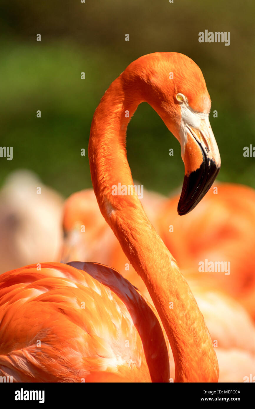 The portrait of the pink flamingo. The detail of the head of the bird with part of the body. The other birds on background. Phoenicopterus ruber. - Stock Image