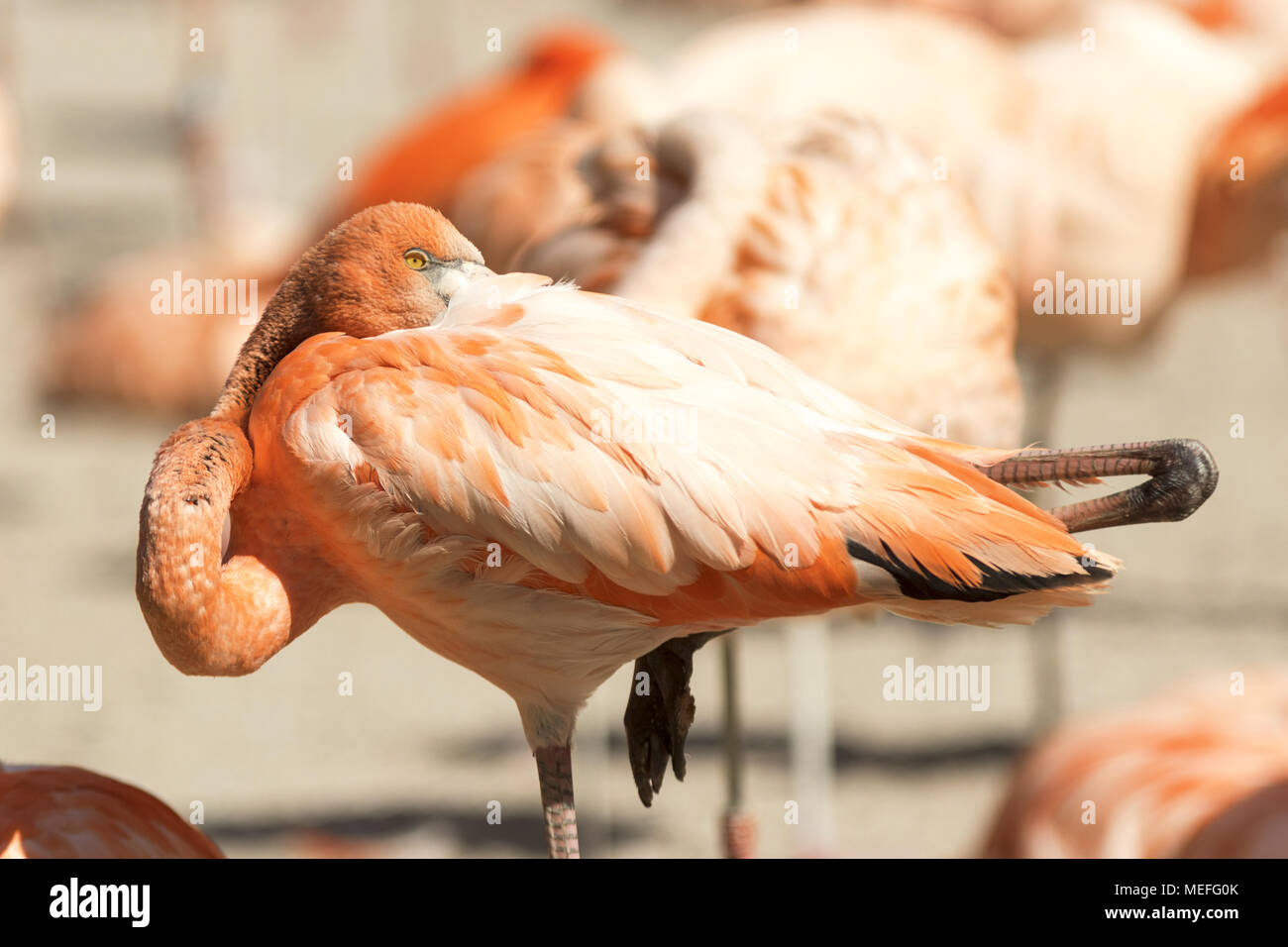 The portrait of the pink flamingo. The detail of the head with the the body of the bird. The other birds on background. Phoenicopterus ruber. Stock Photo