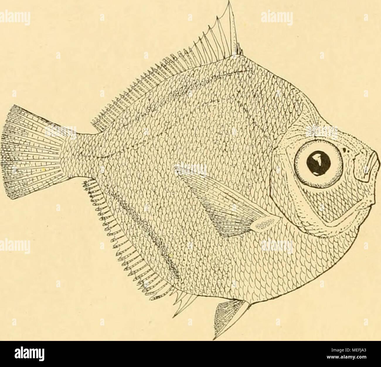 . Die Fische der Siboga-expedition . Fig. 69. Antigoiiia malayana n. sp. von Stat. 251. nat. Gr. Höhe. 54 mm 57 . 53 j) Länge. H( ihe in Länge. 90 mm 1.66 86 â 1.50 83 . 1.56 Höhe. 53 mm 48 â 50 ., ö Länge. 82 mm 79 Â« 76 â Höhe in Länge. 1-54 1.64 1.52 Diese neue Art unterscheidet sich von allen bisher beschriebenen sofort durch den senk- rechten, ventralwärts concaven Unterkiefer, der lebhaft an den Unterkiefer von Eqmila inter- rupta und insidiatrix erinnert. Eine Vergleichung mit den übrigen bekannten Arten wird durch nachstehende Tabelle erleichtert. Antigonia: capfos. : Steinda Stock Photo