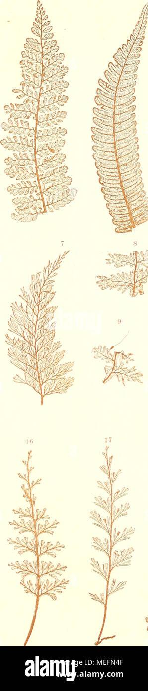 . Die farnkräuter der jetztwelt, zur untersuchung und bestimmung, der in den formationen der erdrinde eingeschlossenen überreste von vorweltlichen arten dieser ordnung nach dem flächen-skelet . 1. Ciiatfiea microphylla Mett. 2. C'j/atkea sp. Cohimbme. 3,4. Cyathea arhorea J. Smith. 5, 0. Cyathea mexicana Cham, et Sc Ii. 7. Trichumanes apiifolium Presl. 8,9. Trichomanes Ankersii Hook et G r e v. 10—12. Tricliomanes tricJioideum S w. 13 —1.0,20. TricliomanesSellowiamim Presl. 16. Trichomanes dtap/iawiIII Kunth. 17. Trichomanes emarginatum Presl. 18. Trichomanes plumosum Kunze. 19. Trichomanes cr - Stock Image