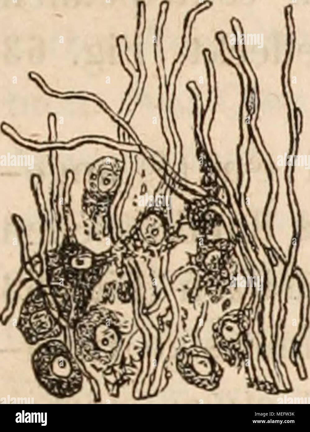 Die familie der rüsselquallen (Geryonida). Eine monographie . VI ...
