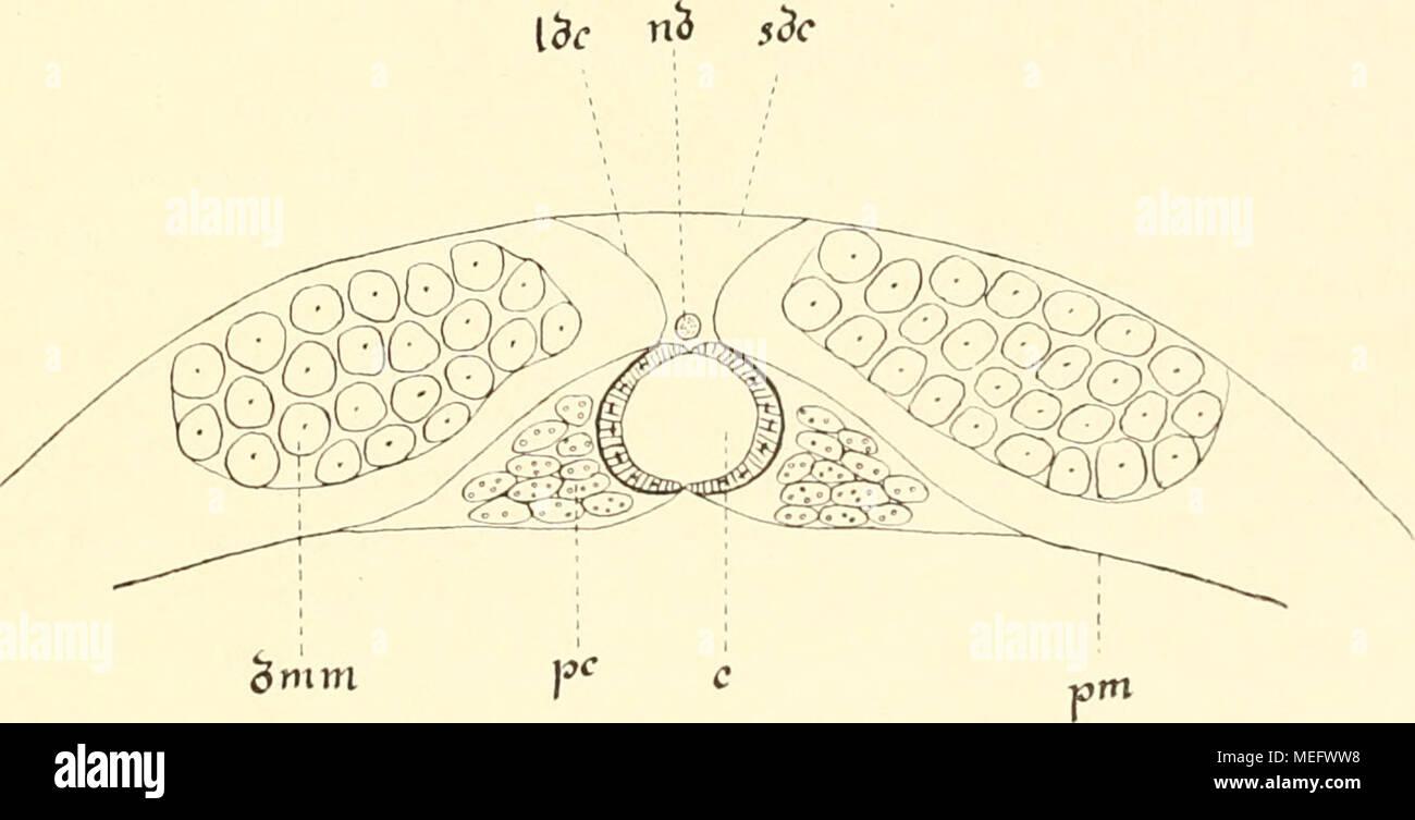 . Die Entwicklungsgeschichte der Scolopender . Fig. XVIII. Transversalschnitt durch Herz und Perikardialraum eines erwach Scolopenders. c = Herz, dnim — dorsale Längsmuskeln, ldc = Ligamentum dors. cordis, nd = Nervus dorsalis, pm = Membrana pericardialis, pc — Perikardialzellen, sdc = Sinus dors. cordis. - Stock Image