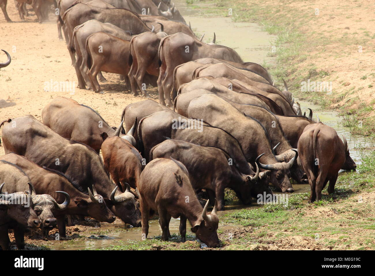 Buffalo herd in South Luangwa, Zambia - Stock Image
