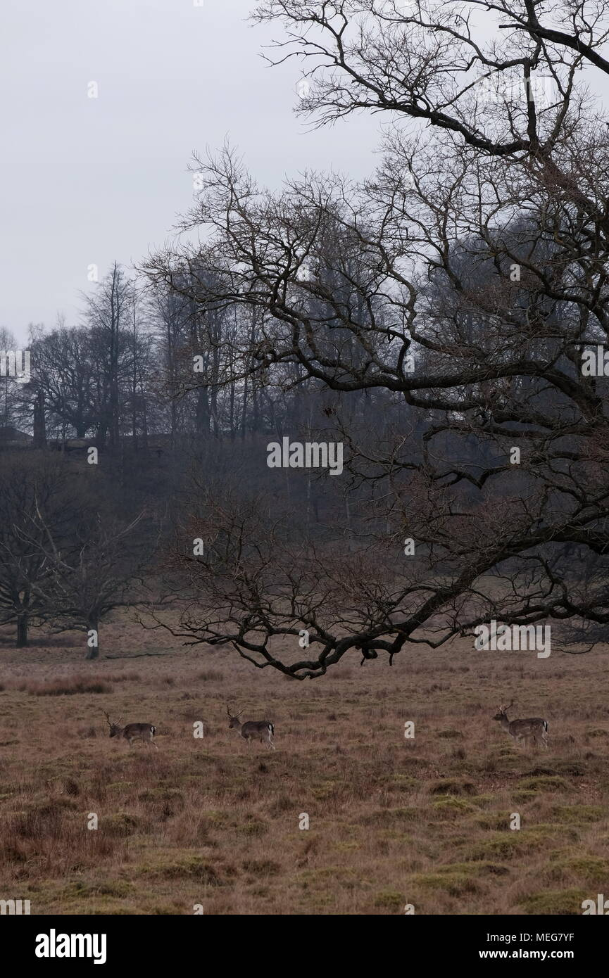 Three Bucks at Petworth on a wintery February afternoon. - Stock Image