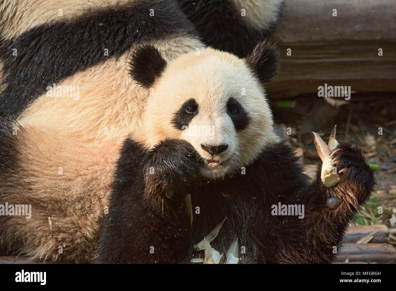 Giant panda eating bamboo at the Chengdu Research Base of Giant Panda Breeding in Chengdu, Sichuan, China - Stock Image