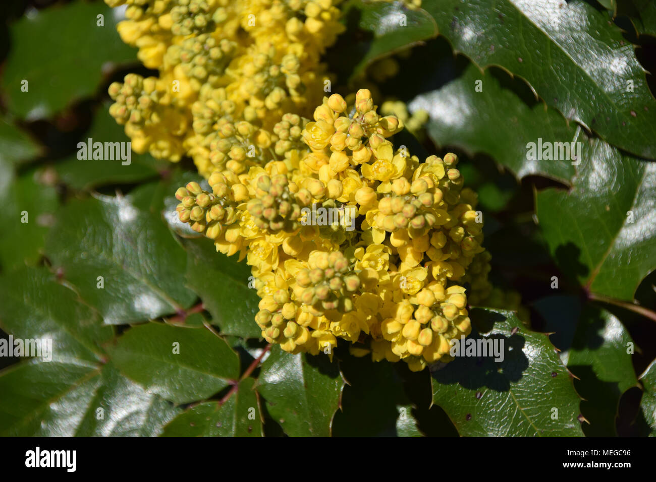 Evergreen Shrubs Of Mahonia With Little Yellow Flowers Stock Photo