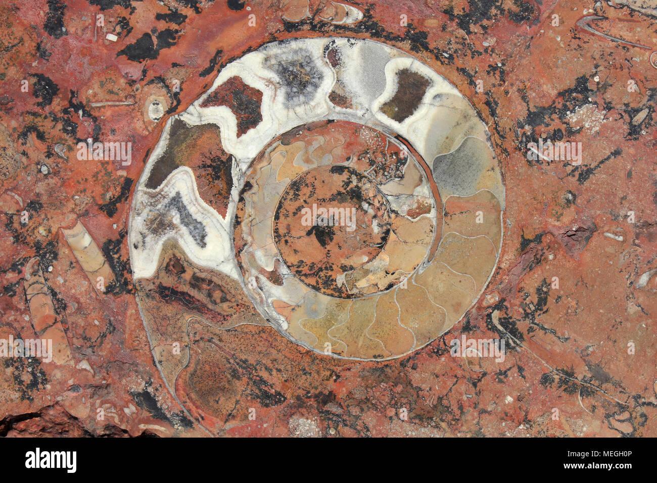 Ammonite (Goniatite) Fossil, Morocco - Stock Image