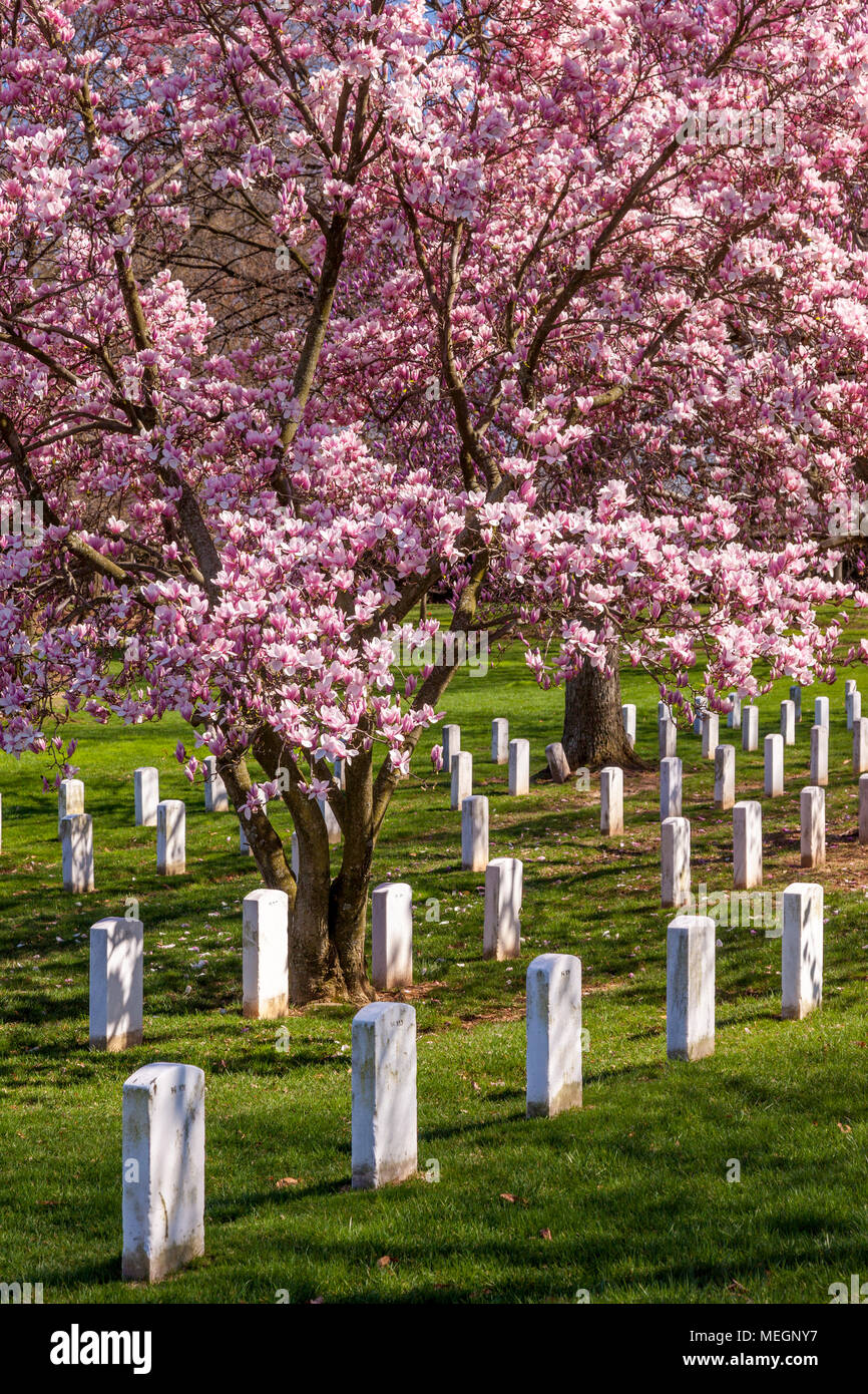 Magnolia Trees Blossom Over The Tombstones Of Arlington National
