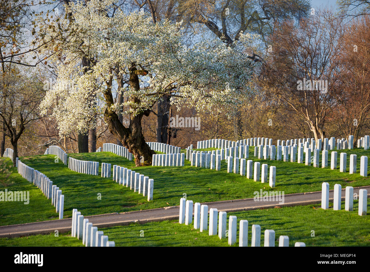Blossoming Cherry Trees stand guard over rows of tombstones at Arlington National Cemetery, Arlington, Virginia, USA - Stock Image