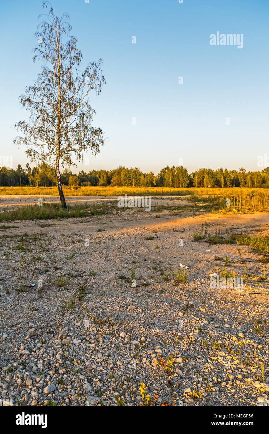 Lonely single birch tree on the stony ground in the middle of an empty area in Zabrze, Silesian Upland, Poland. - Stock Image