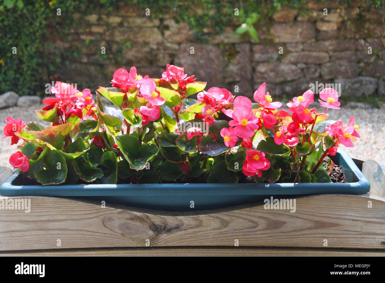A colourful window box full of begonias - John Gollop - Stock Image