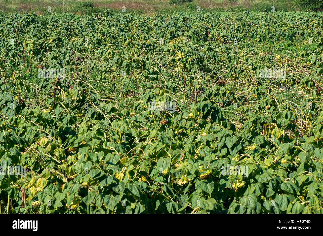 Crop insurance. Destroyed sunflower lying on the sunflower field - Stock Image
