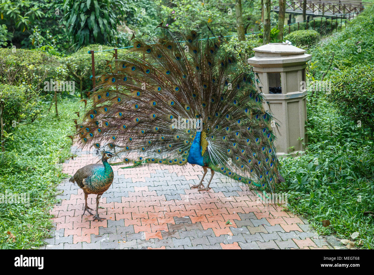 Indian blue peacock with an open tail in front of the female - Stock Image