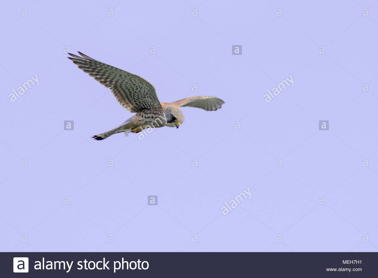 A kestrel (UK) hovering looking for prey. - Stock Image