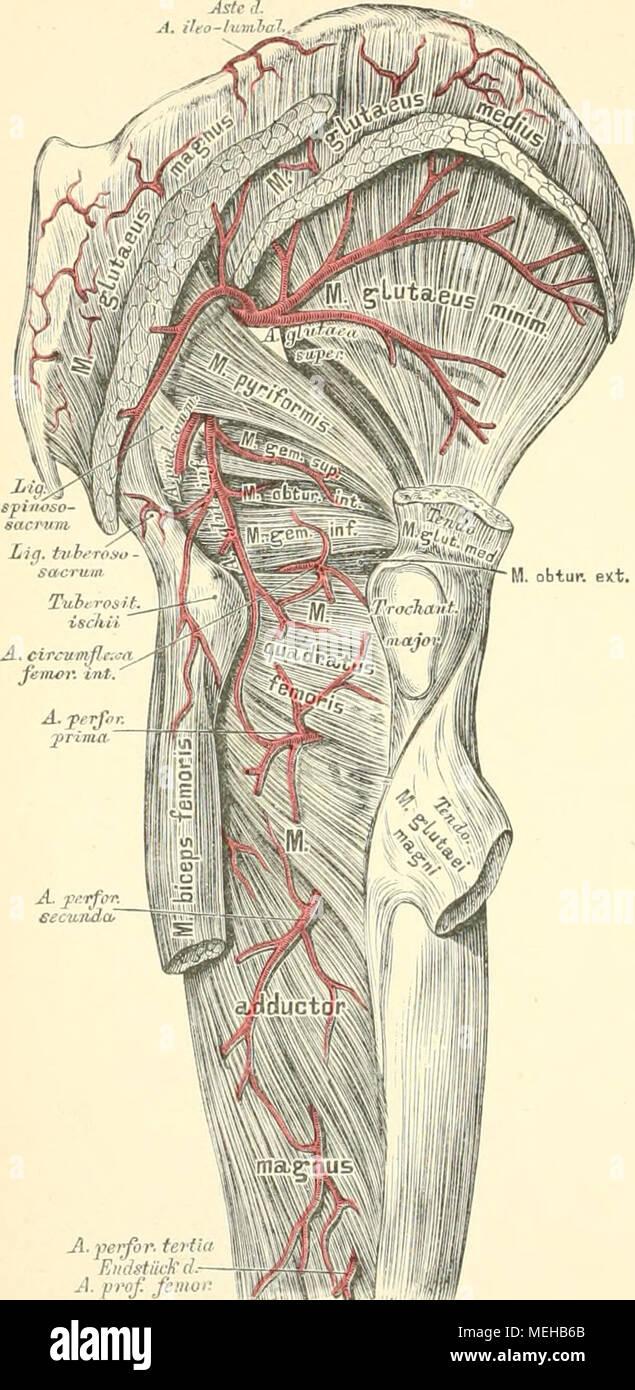 Fantastisch Untere Anatomie Extremität Arterie Bilder - Menschliche ...
