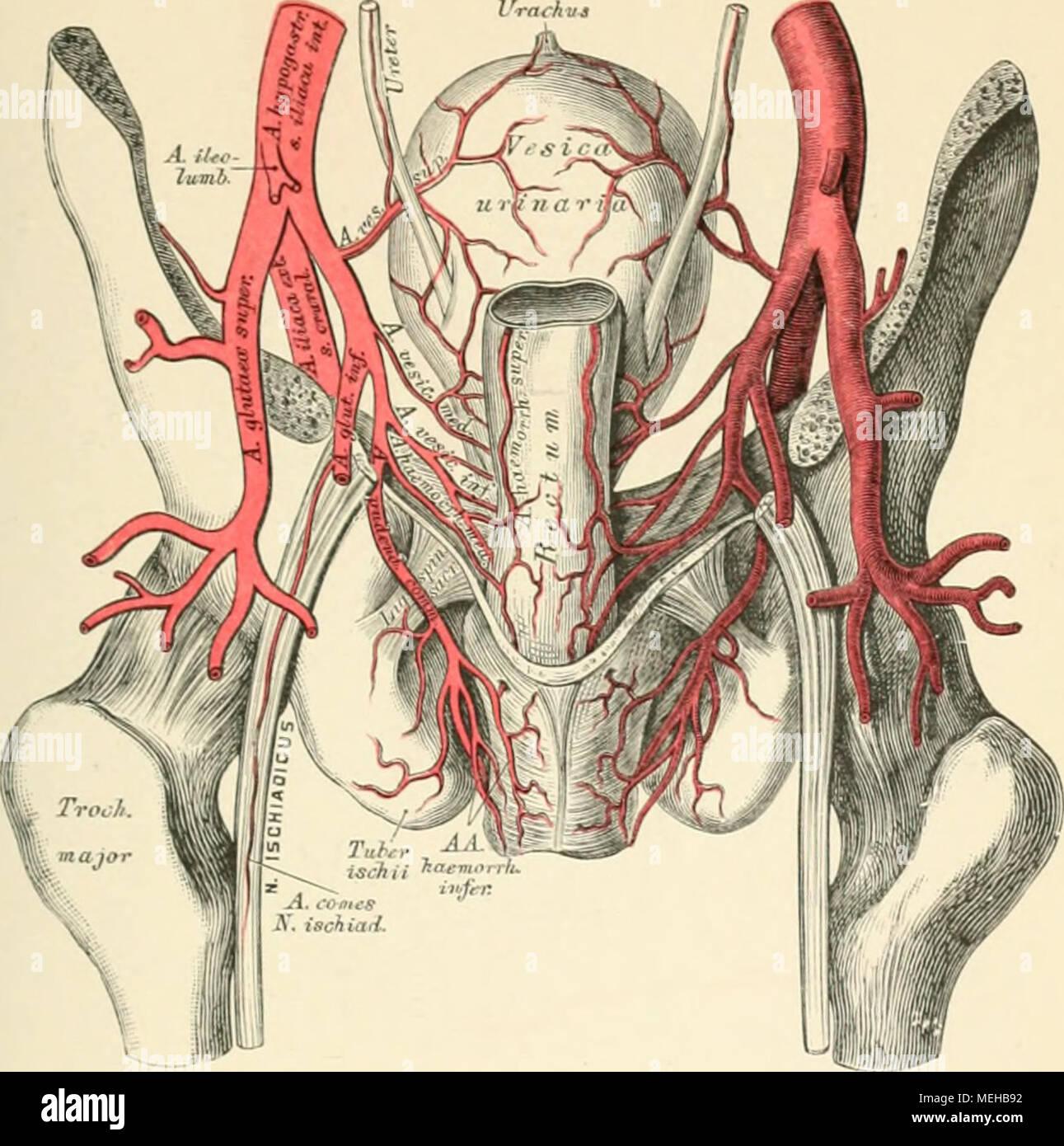 Die descriptive und topographische Anatomie des Menschen . 7)]ti ...