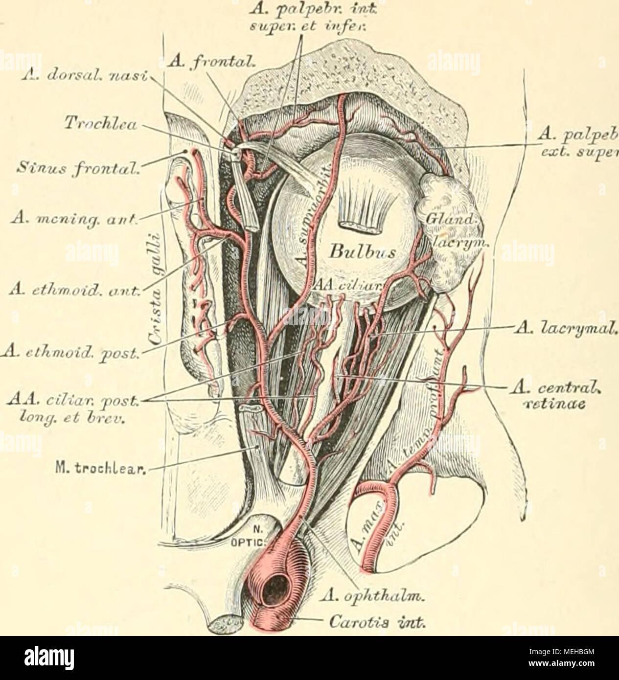 Die descriptive und topographische Anatomie des Menschen . 707 ...