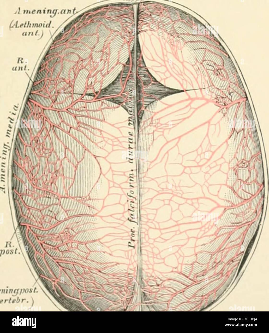 Die descriptive und topographische Anatomie des Menschen . A ...