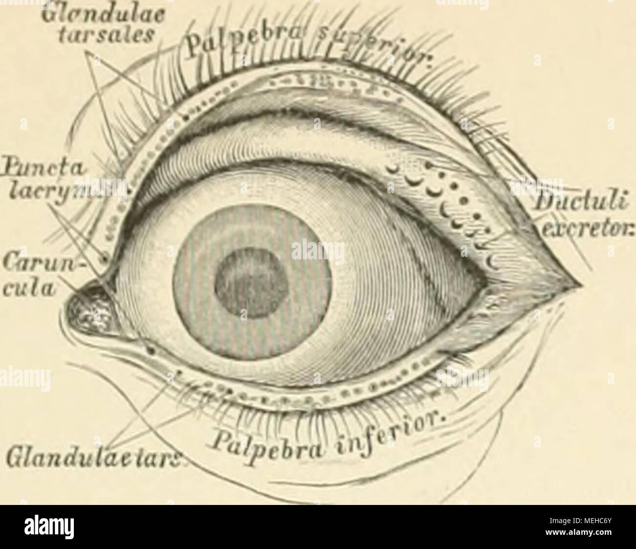 Die descriptive und topographische Anatomie des Menschen . (!32. Der ...