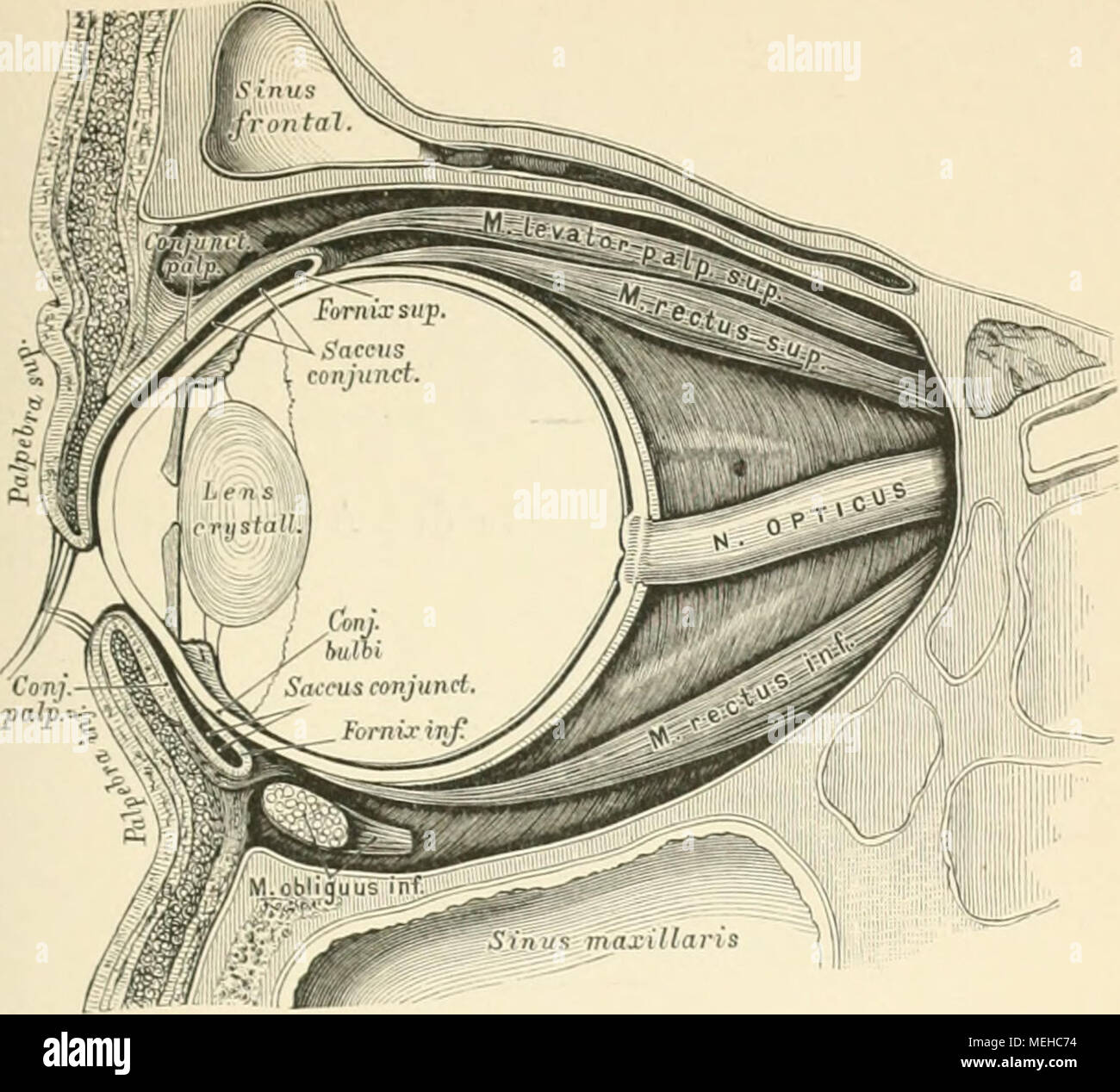 Die descriptive und topographische Anatomie des Menschen . (i\