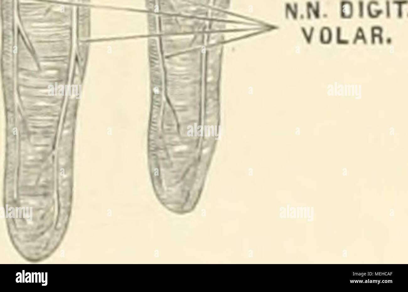Die descriptive und topographische Anatomie des Menschen . 595. Die ...