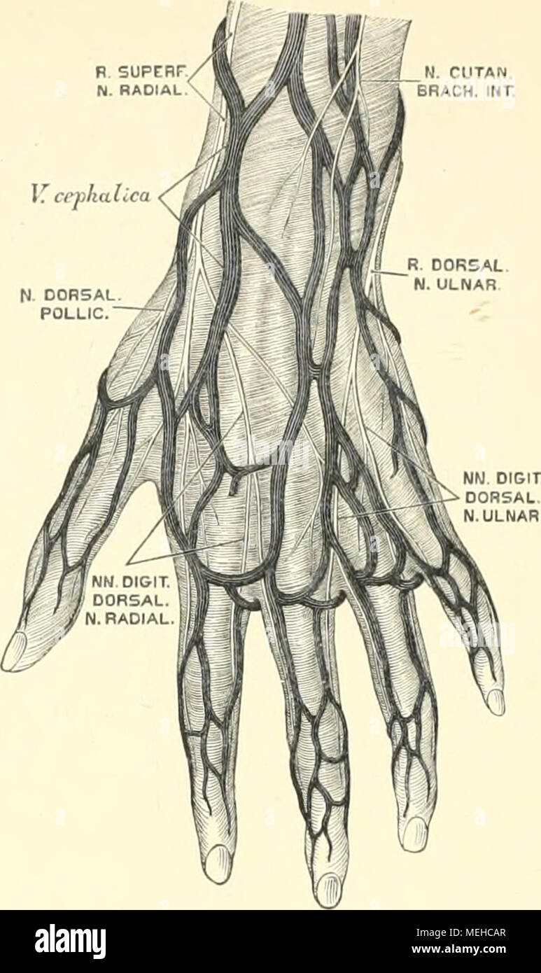 Die descriptive und topographische Anatomie des Menschen . 596. Die ...